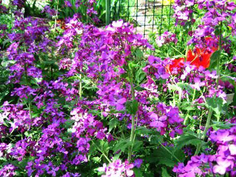 Лунария Немногие сады могут похвастаться растениями, которые удивляют не столько цветами, сколько оригинальными плодами. Все потому, что часто забывают о таком замечательном представителе