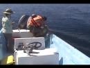 Кит-горбач благодарит после освобождения из рыболовных сетей