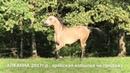 Продажа лошадей арабской породы конефермы Эквилайн тел WhatsApp 79883400208 АЛКАННА 2017г р