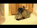 Chinchilla, cat and dog Шиншилла, кошка и собака