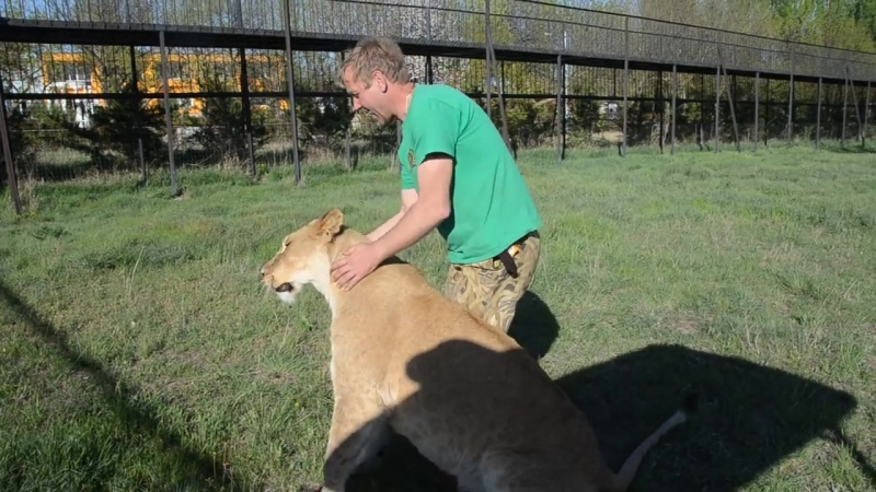 Молодой прайд гоняет матерого льва Гека по саванне ! Тайган .Крым