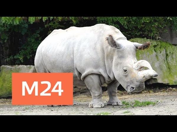Последнего самца северного белого носорога усыпили в Кении Москва 24