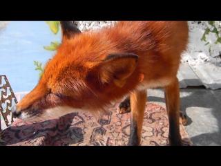 Ням-ням. Вкусняшка для лисёнка Кузи (орешки)