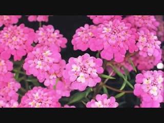 Яркое облако нежных цветов ибериса_Школа цветоводства и садоводства