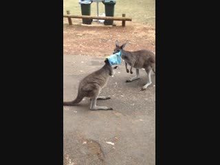 Kangaroo gets head stuck in chips and head buts car