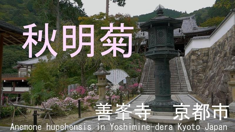 秋明菊 善峯寺 京都市 2018 Anemone hupehensis in Yoshimine-dera Kyoto Japan