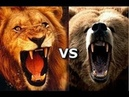 Кім жеңеді Арыстан vs Аю