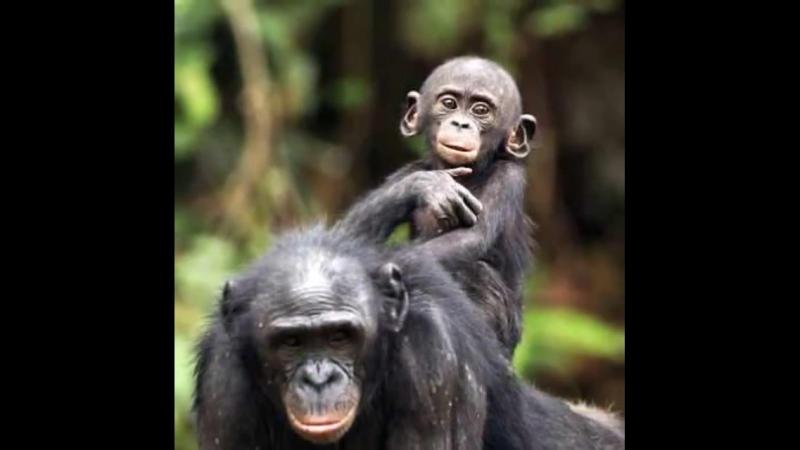 У шимпанзе есть повитухи