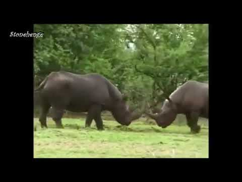 Best Documentary Furious Fight of Rhino in Indian Forest Wild Animals Fighting