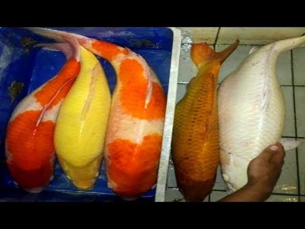 Most beautiful colour koi fish breeding (koi fish pond)