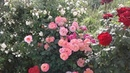 Питомник Роз Полины Козловой правильный полив роз