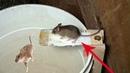 اسهل طريقة لصيد الفئران دفعة واحدة، سهلة ل 1