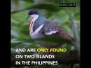 Негросский куриный голубь (лат. Gallicolumba keayi)