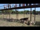 Львы доедают цирковых красивых лошадок с визгом встречаемых картавой и зубковым и зарезанных зубковым