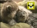 Енот достаёт кошака - Cat and Racoon. Sooo cute!! Дай Лапу