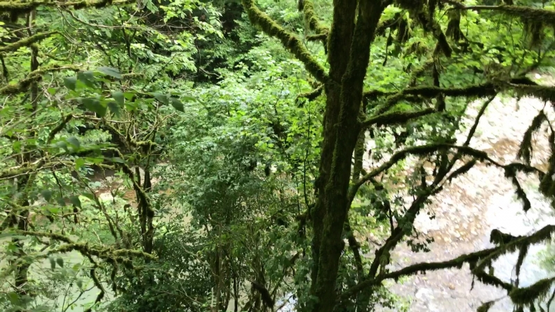 Мох на деревьях в Тисо-Самшитовой роще (Краснодарский край).