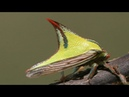 The thorn bug Umbonia crassicornis facts