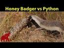 Honey Badger vs Python and Snake Animal Battles