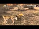 Гиена отбирает добычу у гепарда