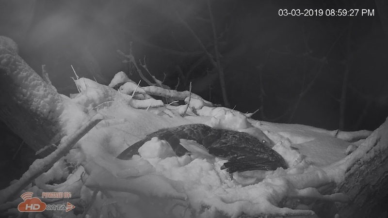 2019 - Liberty Covered in Snow While Incubating 2 Eggs - HDOnTap.com