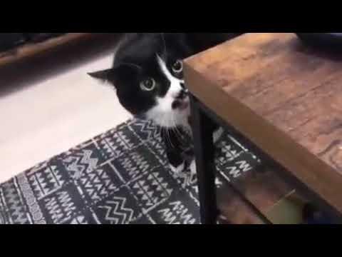 Когда твой кот выучил пару грузинских песен и решил их исполнить.