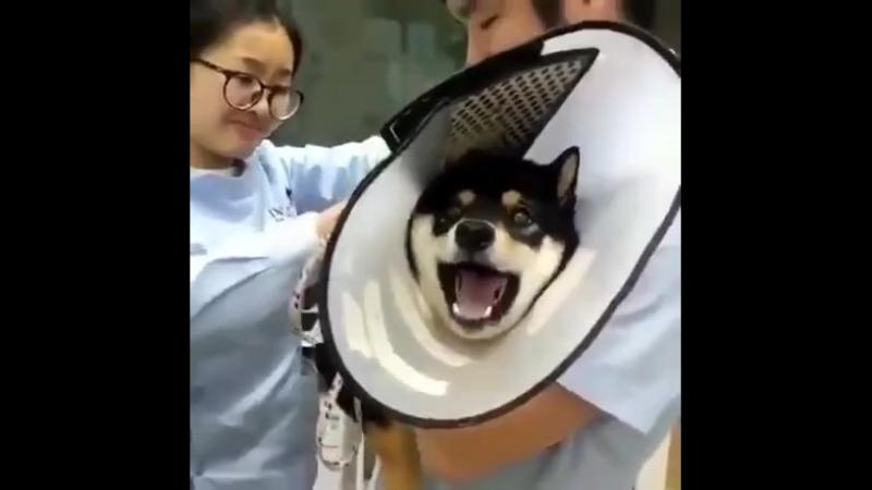 Собакену делают укол