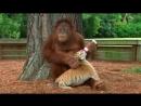 Орангутан усыновил тигрят и ухаживает за ними