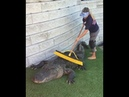 Crocodile in clean brush