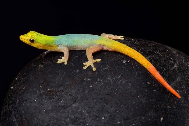 Карликовый геккон (Lygodactylus conraui)