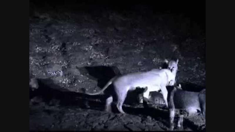Львицы пытаются прогнать нильского крокодила
