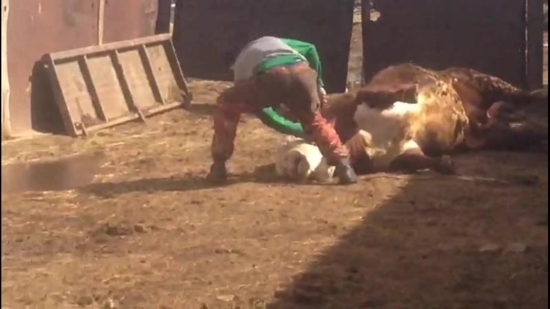 Охота на быка в сараях