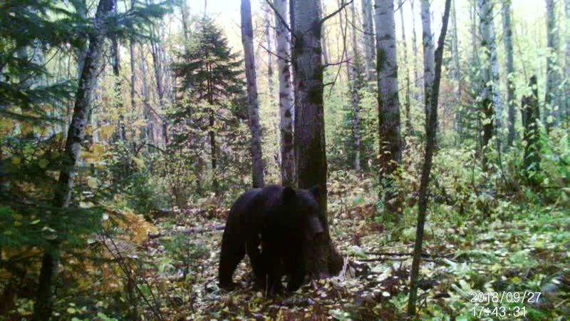 2018 год 27 сентября Медведь пришел на избу Светелка