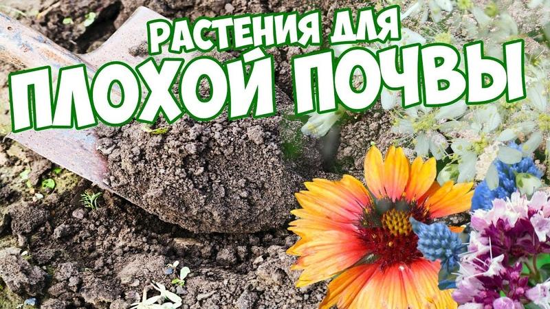10 растений для скудной почвы как вырастить цветочные композиции сад огород