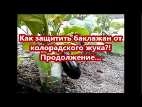 Как защитить баклажан от колорадского жука?! Продолжение... Обзор наших баклажанов.