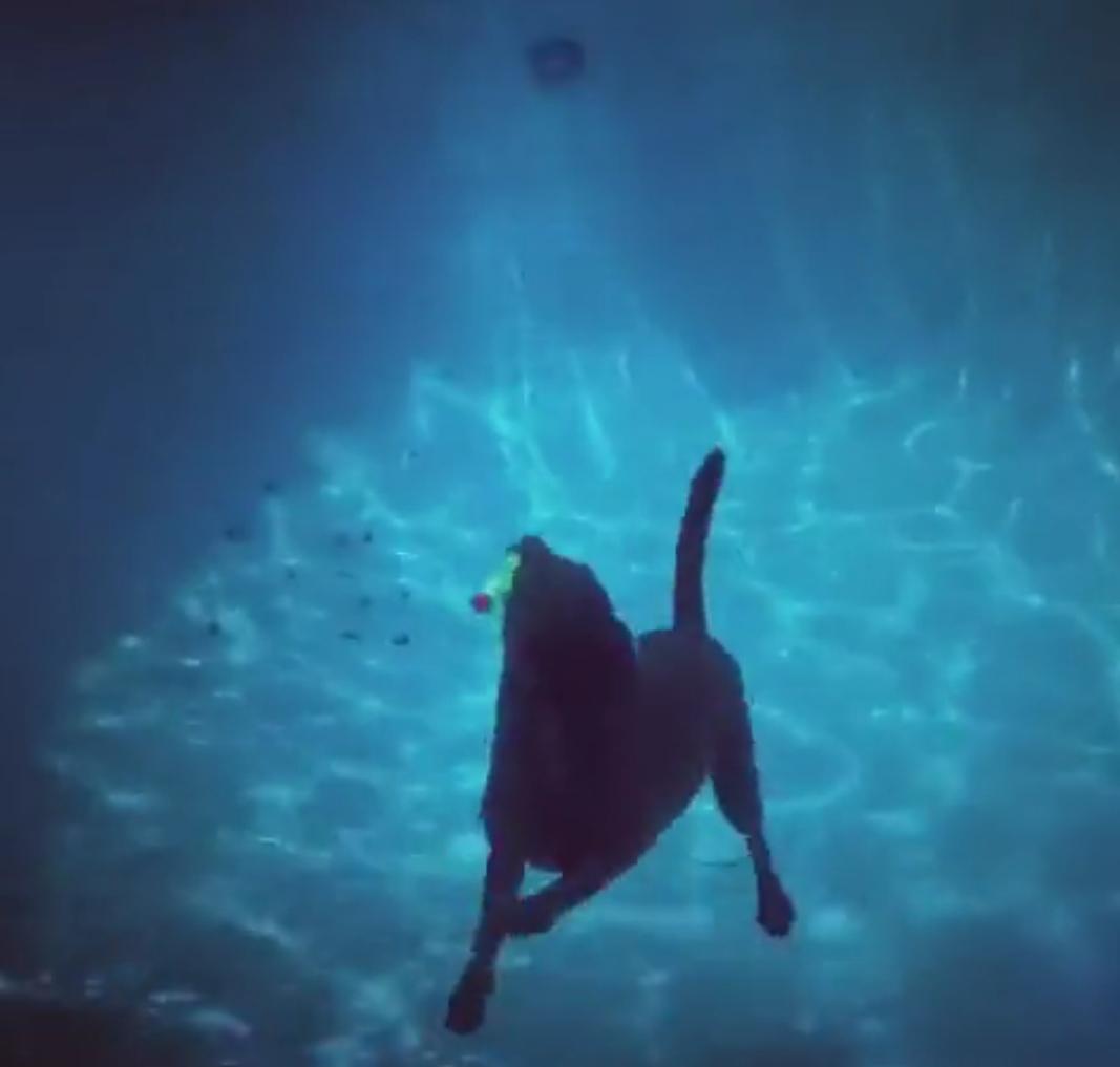 Лабрадор ныряет под воду