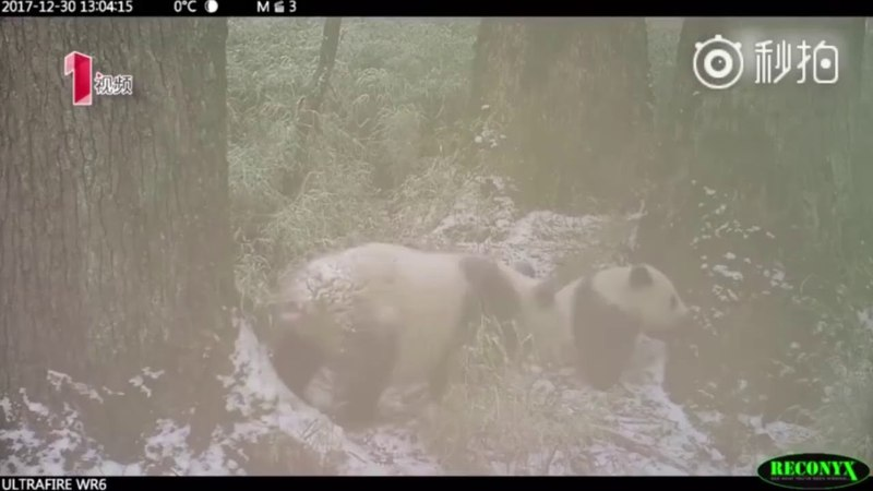 Watch as two wild pandas discover, nibble on, and then accidentally break an outdoor camera in China