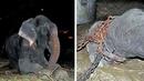 Ein Elefant begann zu weinen, als er nach 50 Jahren Gefangenschaft entlassen wurde!