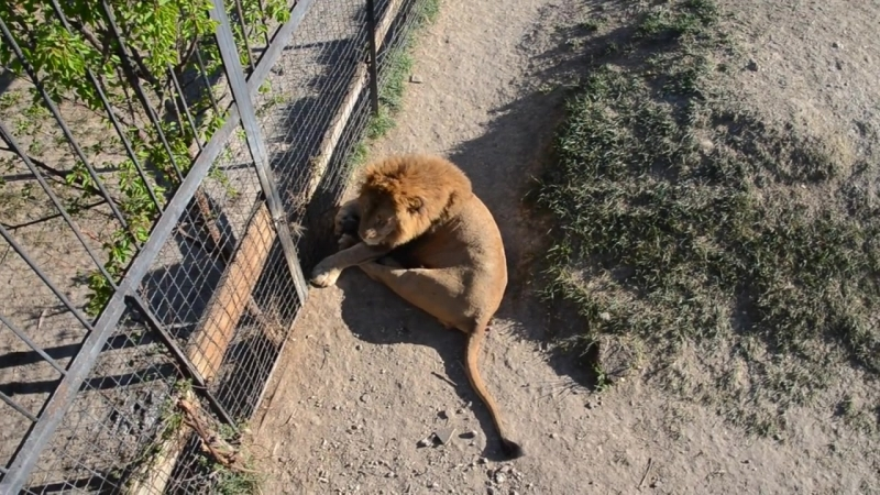 Молодые львы в Саванне .Часть 2