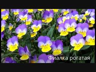 Первоцветы на даче-Школа цветоводства и садоводства