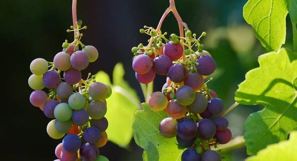 Размножаю виноград