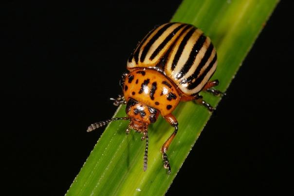 На жука без яда