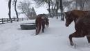 Лошади резвятся и играют в снегу || ViralHog