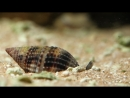 Watch These Cunning Snails Stab and Swallow Fish Whole Deep Look