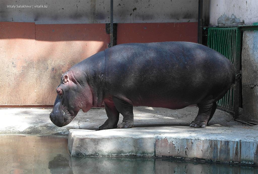 Бегемот, зоопарк Алматы 2018