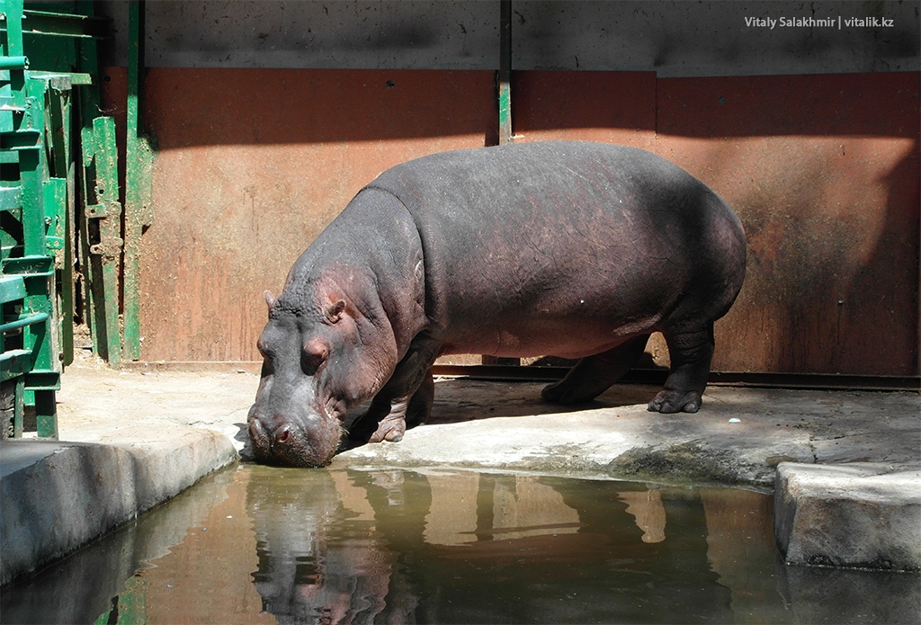 Пьющий бегемот, зоопарк Алматы 2018