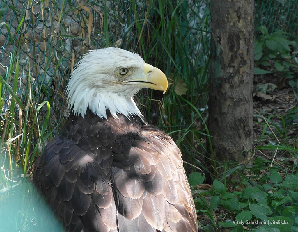 Белоголовый орлан, зоопарк Алматы 2018