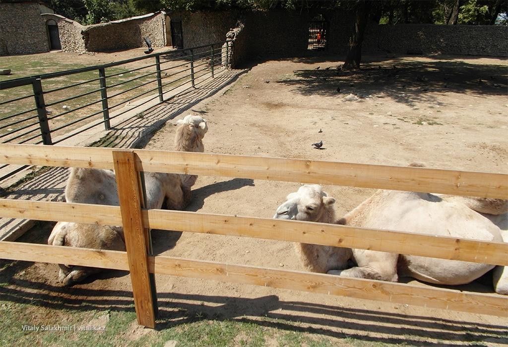 Верблюды в зоопарке Алматы 2018