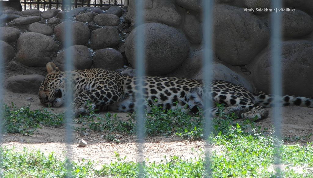 Гепард в алматинском зоопарке, лето 2018