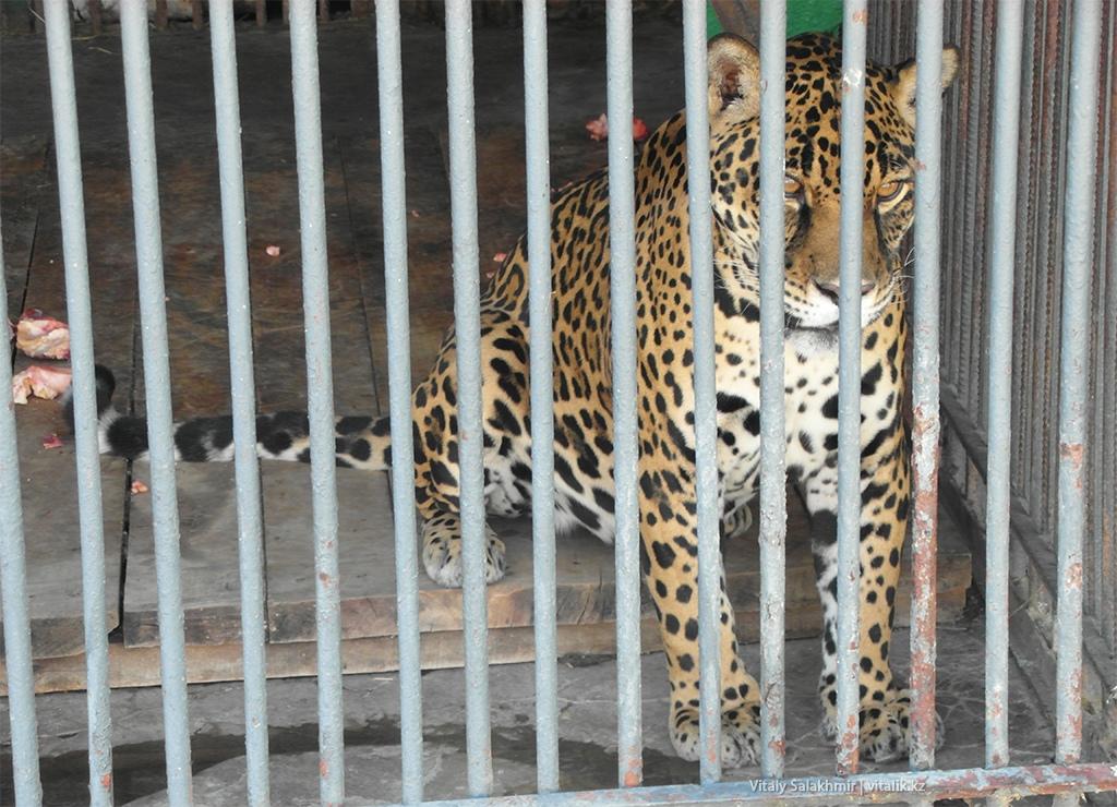 Гепард, зоопарк Алматы 2018