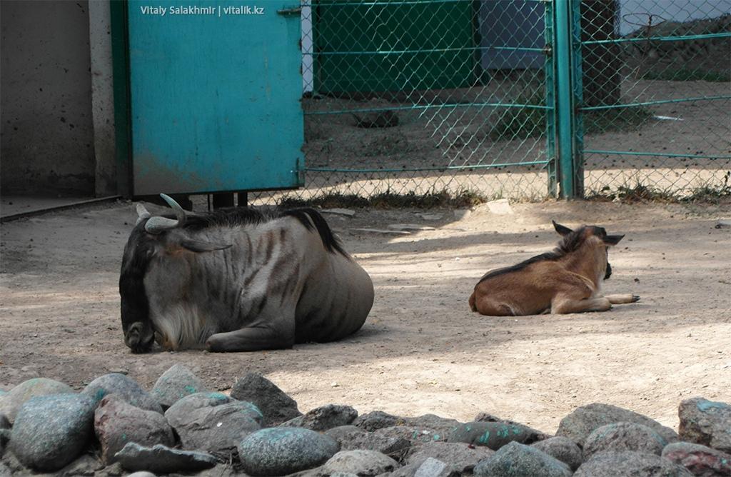 Голубой гну, зоопарк Алматы 2018